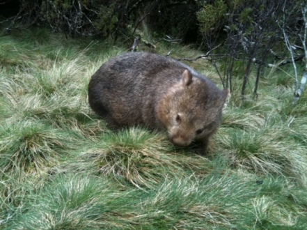 Wombat at Cradle Mountain, Tasmania